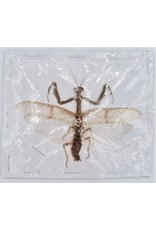 . (On)geprepareerde Mantidae sp.