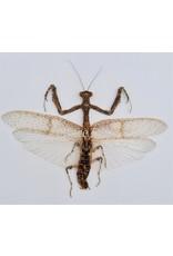 . (Un)mounted Mantidae sp.