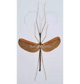 . (Un)mounted Gargantuoidea Triumphalis (Stick insect)