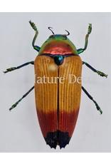 . Unmounted  Metaxymorpha Apicalis