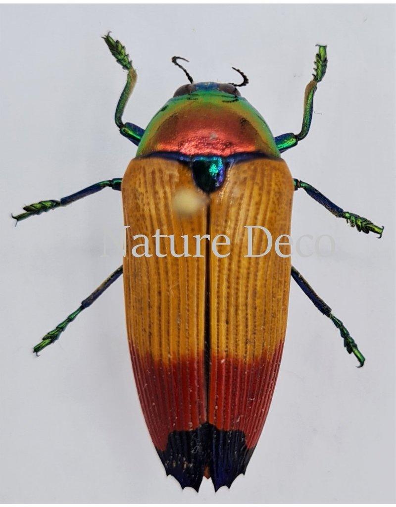 . Ongeprepareerde Metaxymorpha Apicalis