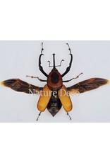 . Unmounted Curculionidae sp.