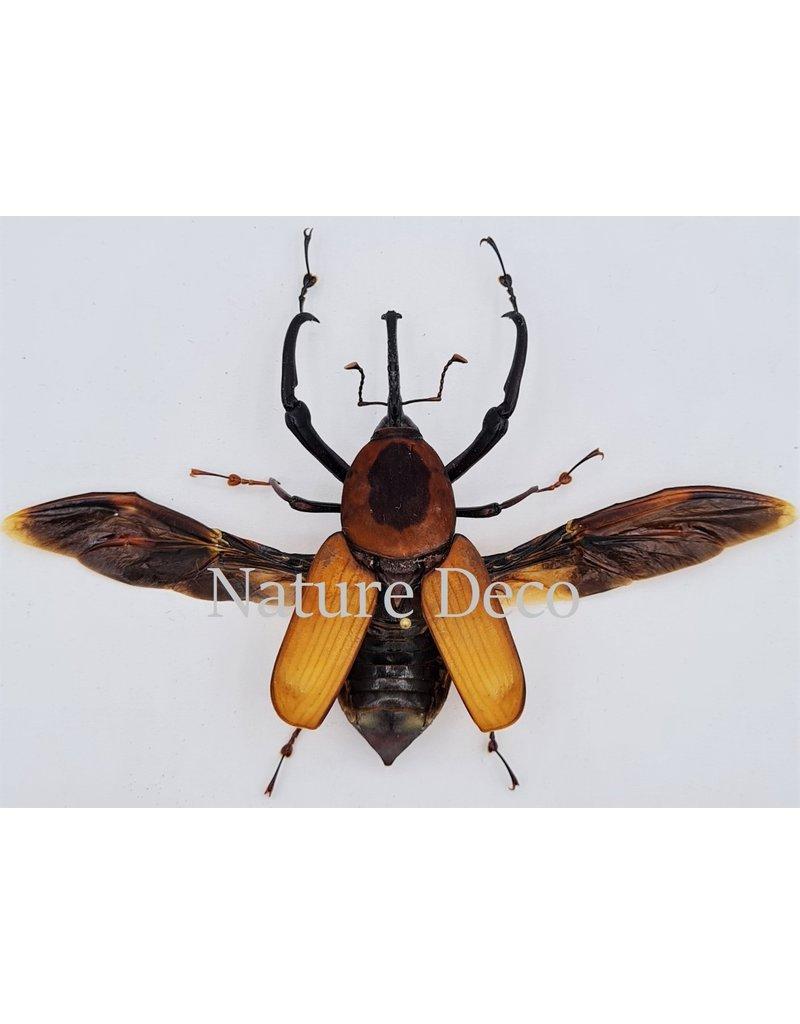 . Ongeprepareerde Curculionidae sp.