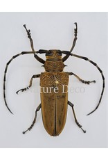 . Unmounted Apriona Flavescens