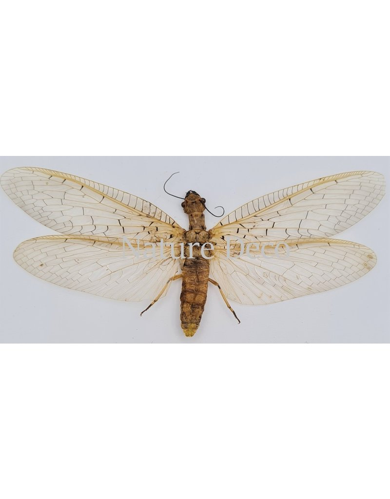. (Un)mounted  Coridalinae sp