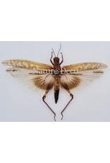 . Ongeprepareerde Orthoptera sp.