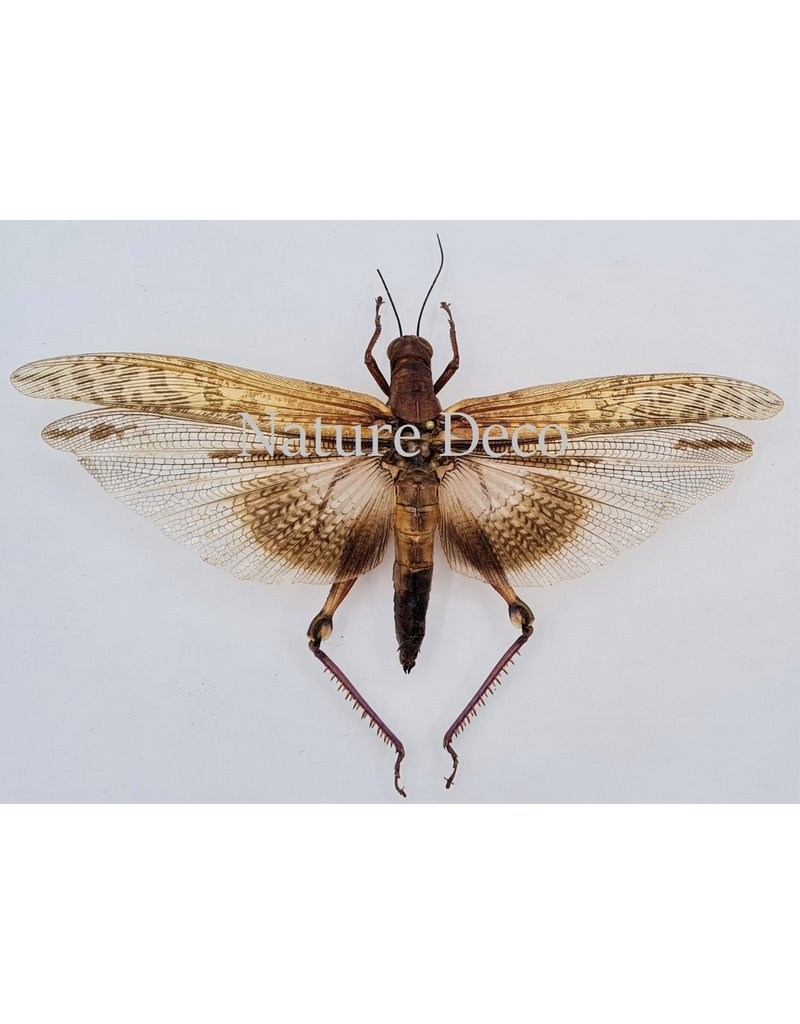 . Unmounted Orthoptera sp.