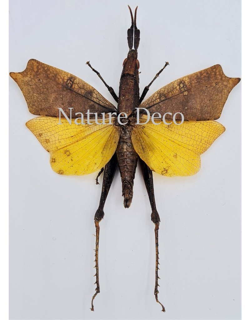 . (Un)mounted Trigonopteryx Celebesia