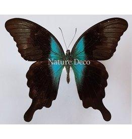 . Unmounted Papilio Peranthus Adamantius