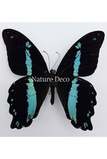 . Unmounted Papilio Nireus