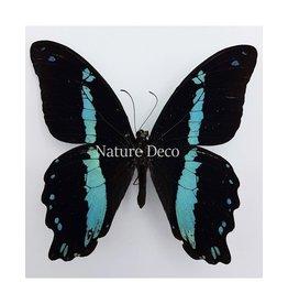 . Ongeprepareerde Papilio Nireus