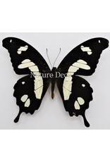 . Unmounted Papilio Hesperus