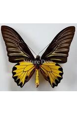 . Unmounted Troides Cuneifera  Cuneifera (male)