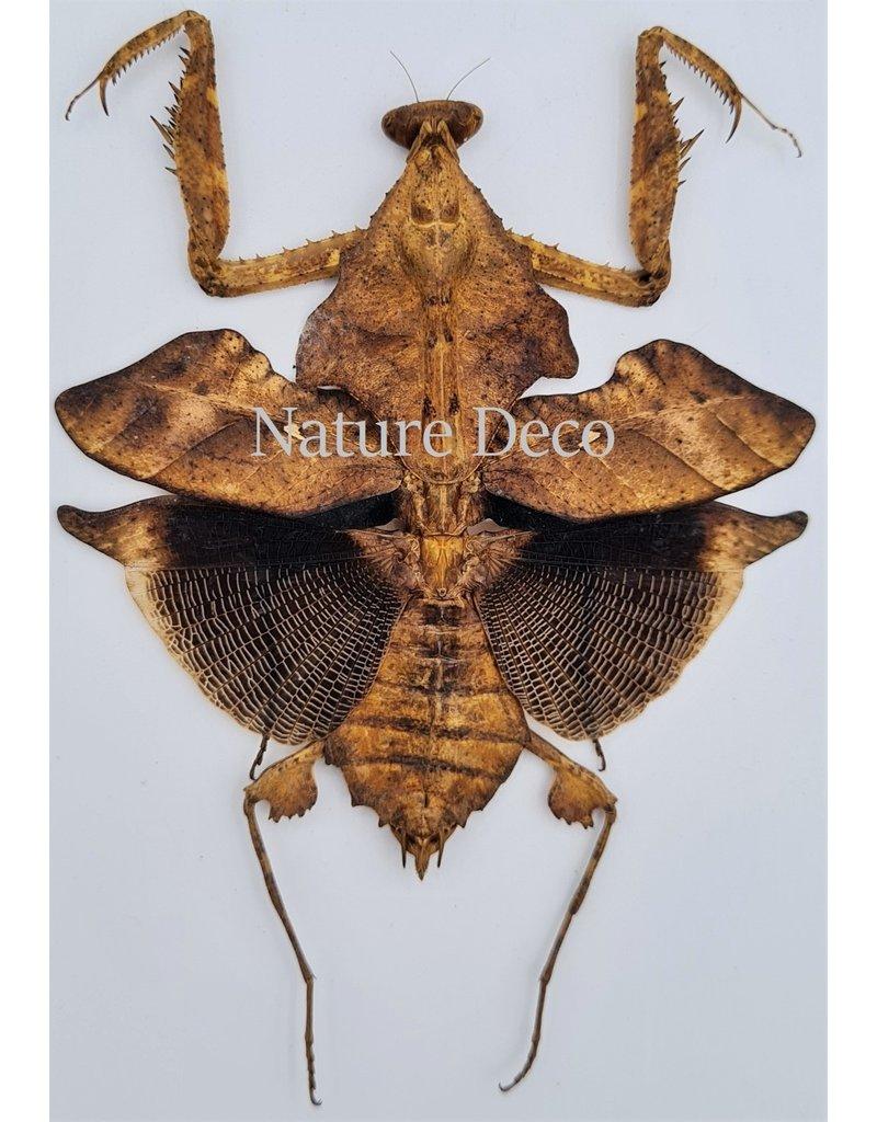. (Un)mounted Deroplatys Lobata