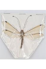 . (Un)mounted Neuroptera sp. (doodlebug)