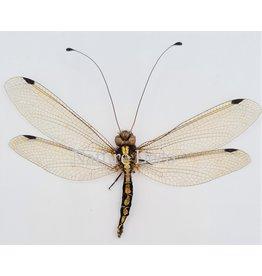 . (On)geprepareerde Neuroptera sp. (mierenleeuw)