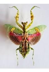 . (Un)mounted Creobroter Gemmatus