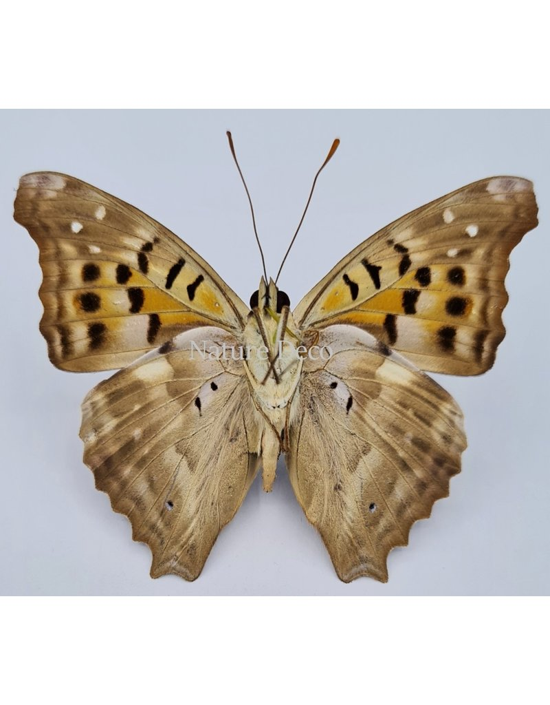 . Unmounted Doxocopa Cherubina