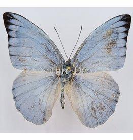 . Unmounted Appias Celestina (male)