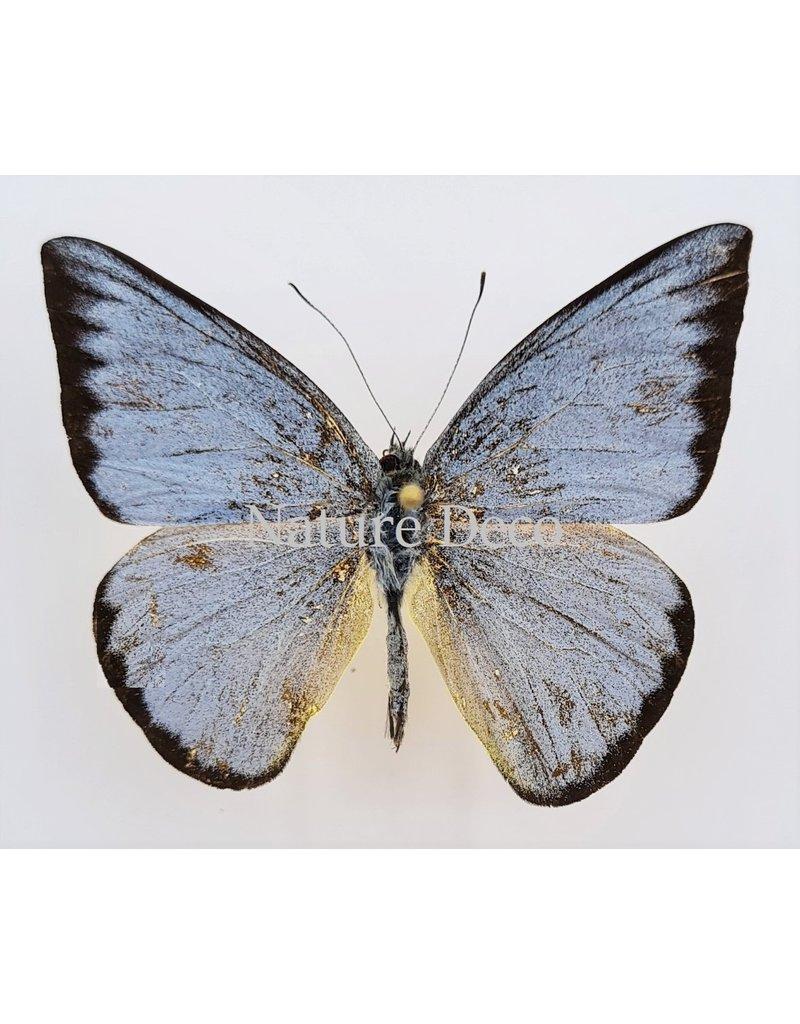 . Unmounted  Appias Celestina (female)