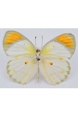 . Unmounted Colotis Euippe