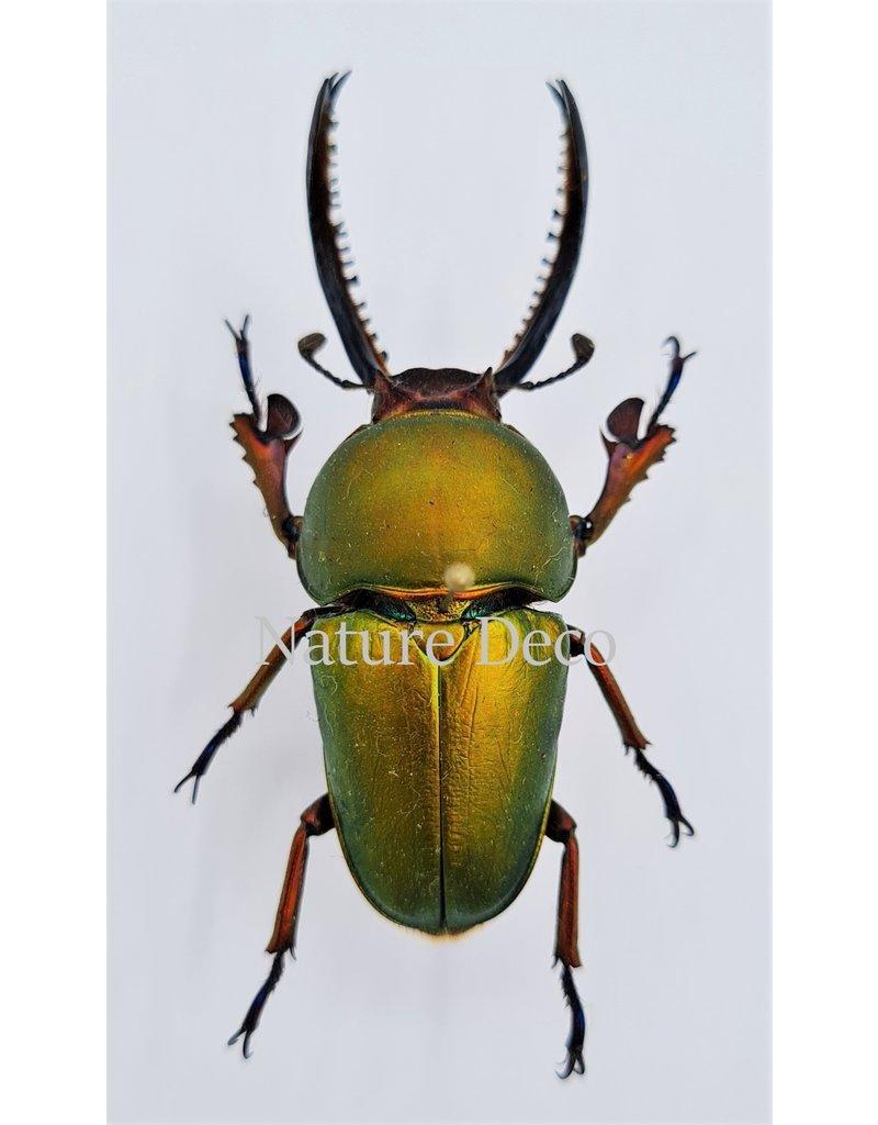 . Ongeprepareerde Lamprima Adolphinae