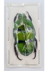 . Ongeprepareerde Ischiopsopha Bifasciata