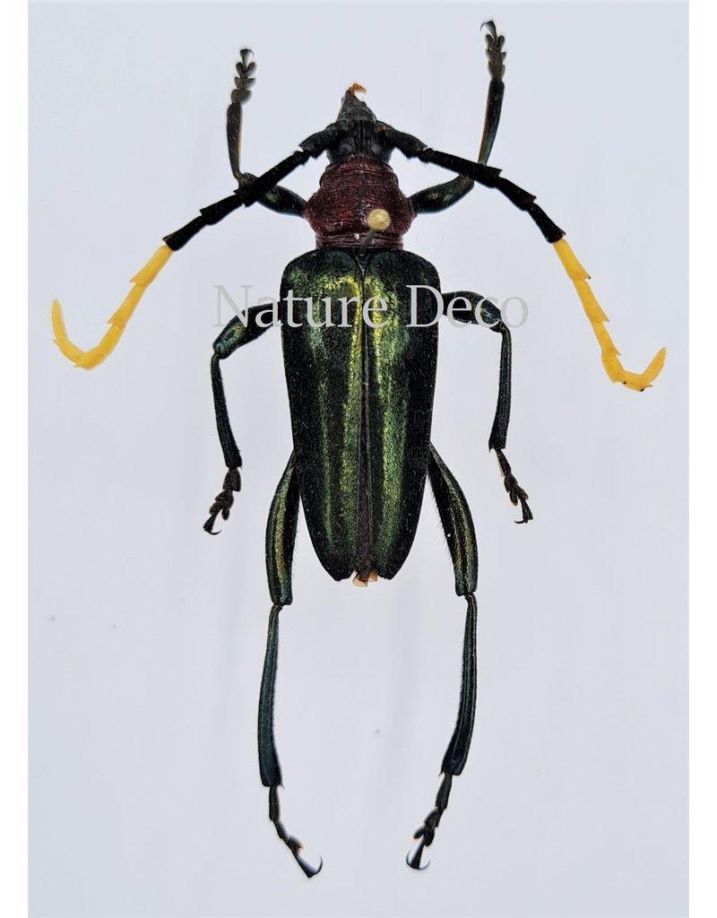 . Ongeprepareerde  Pachyteria Virescens
