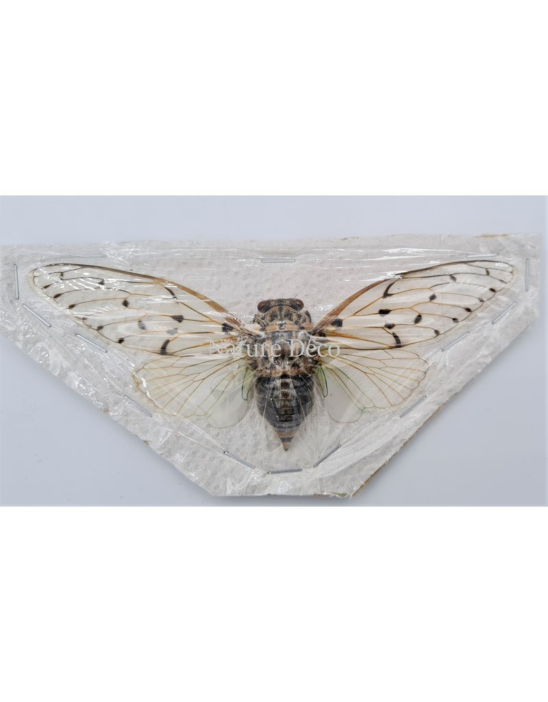 . (On)geprepareerde Ayuthia Spectabile (Ghost cicade)