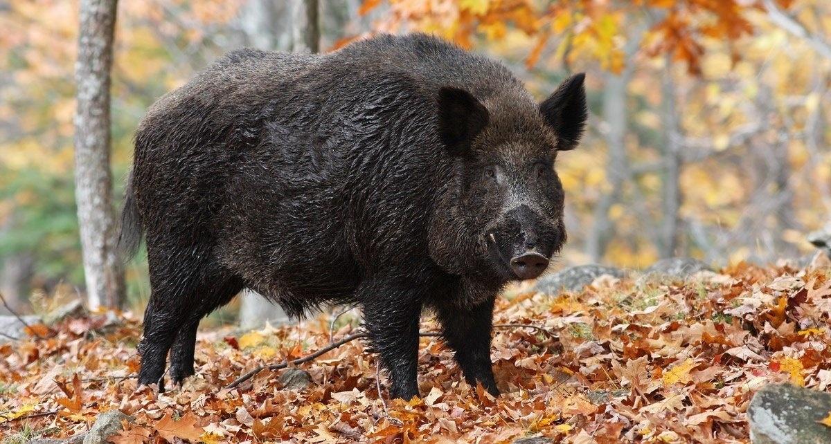 Wie schütze ich meine Nutzflächen effektiv vor Wildschweinen?