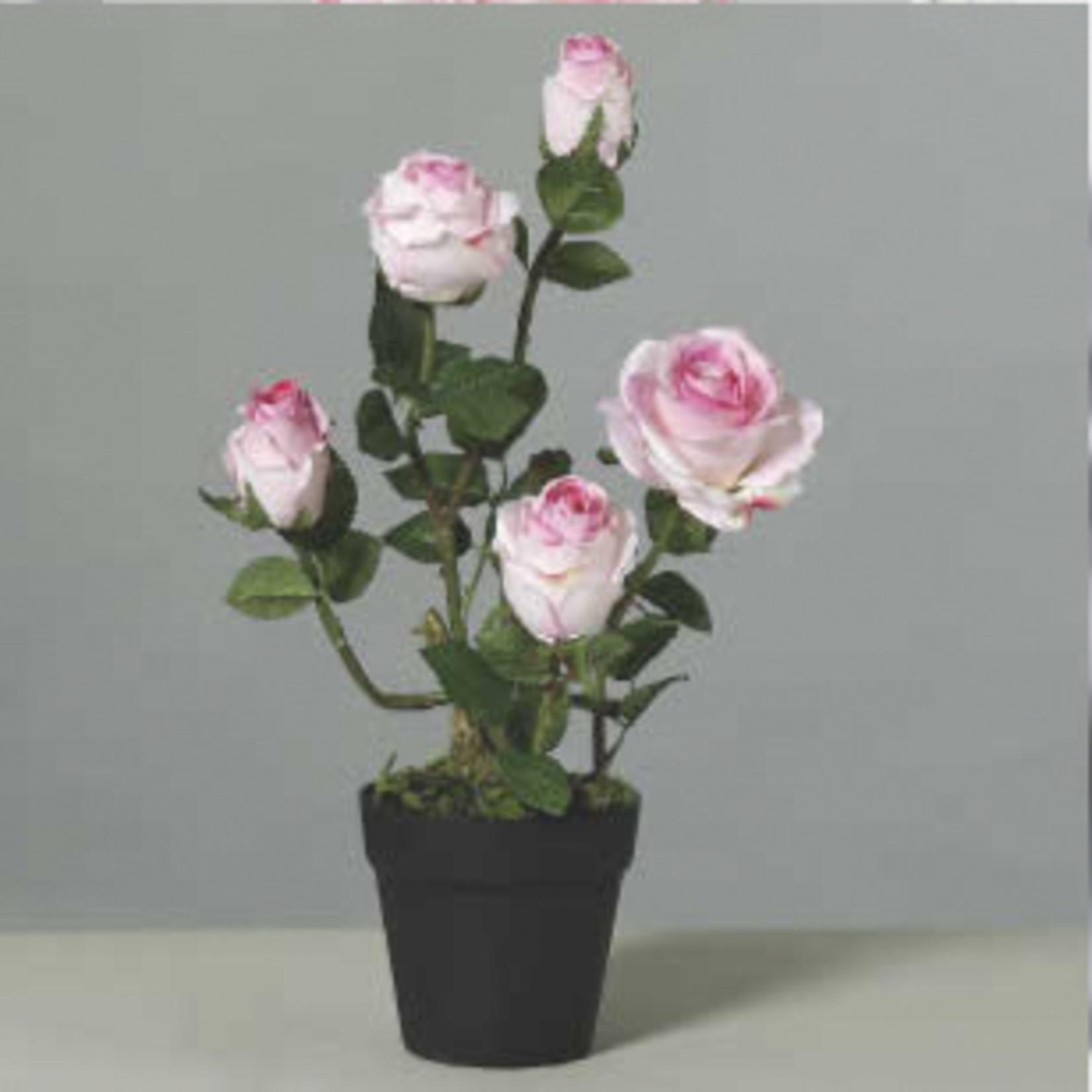 Rosenstrauch im Topf