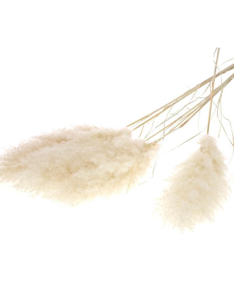 Pampasgras extra fluffy
