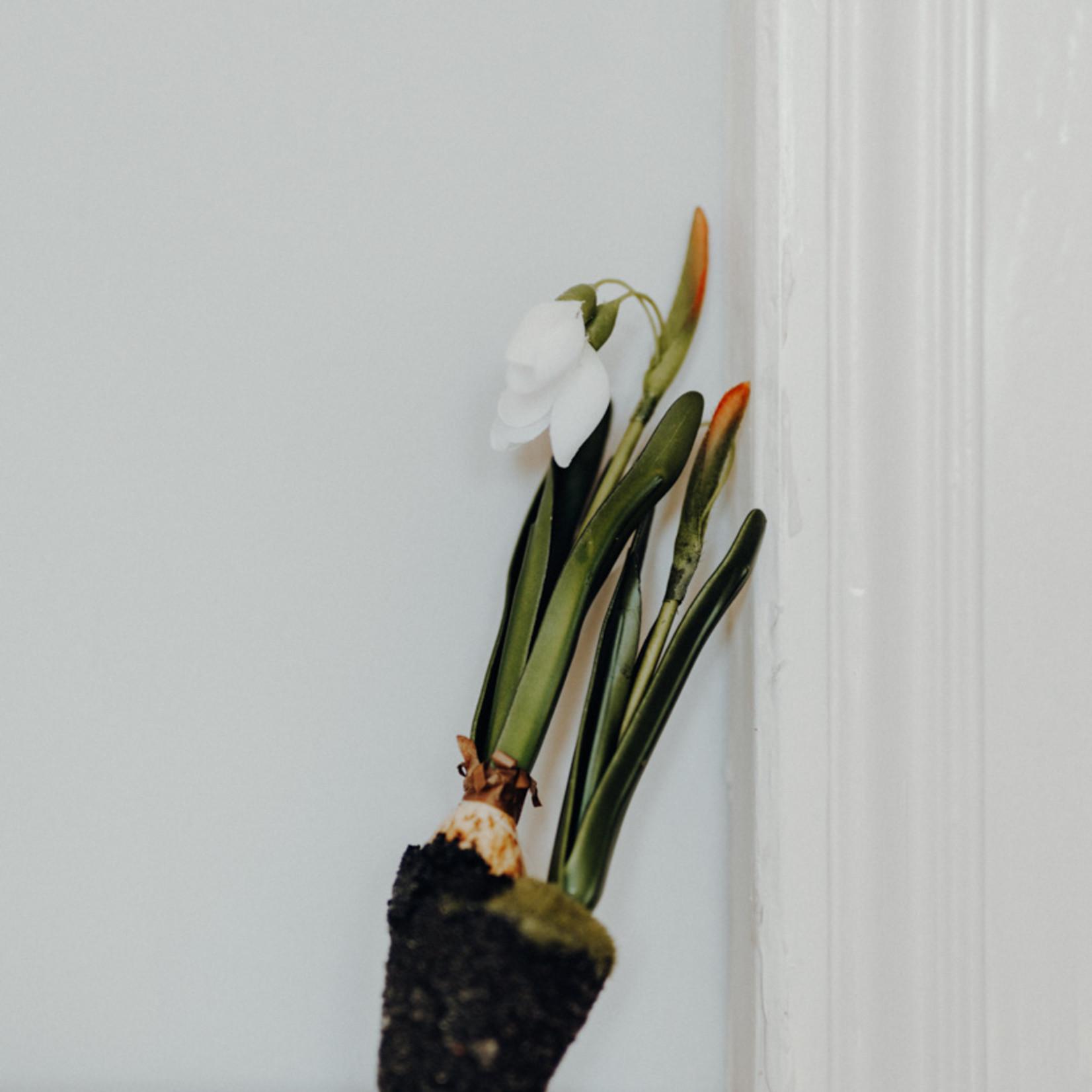 Maiglöckchen mit Wurzelstumpf