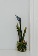 Traubenhyazinthe blau mit Wurzel