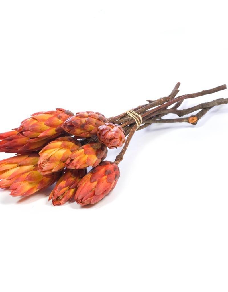 Protea Pendula