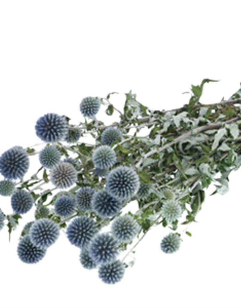 Disteln Echinops blau