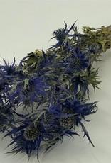 Disteln Eryngium blau