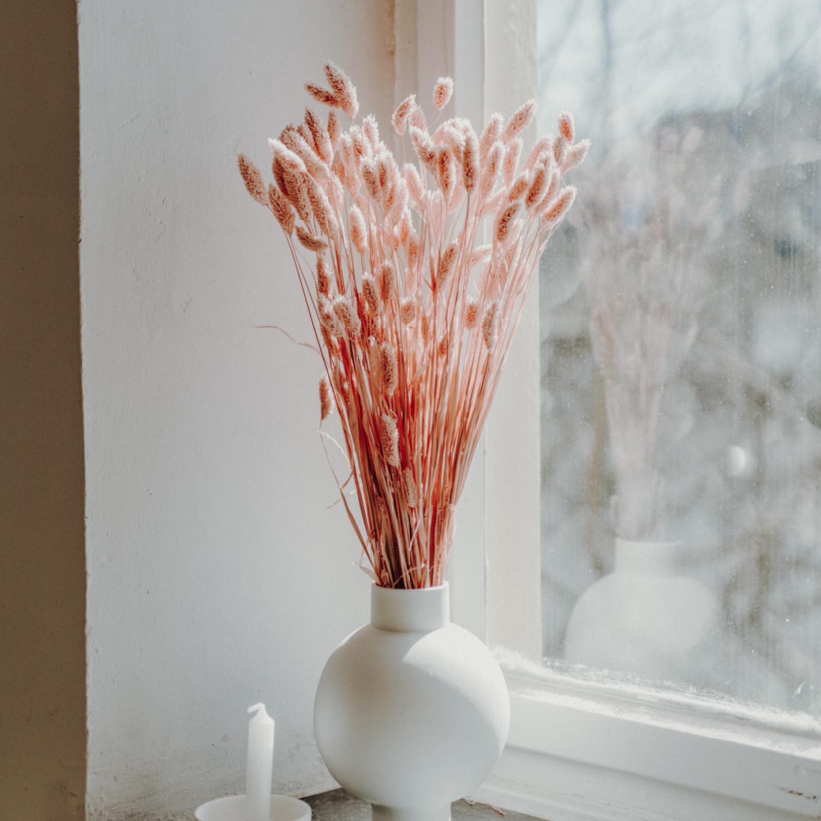 Phalaris Pink Misty
