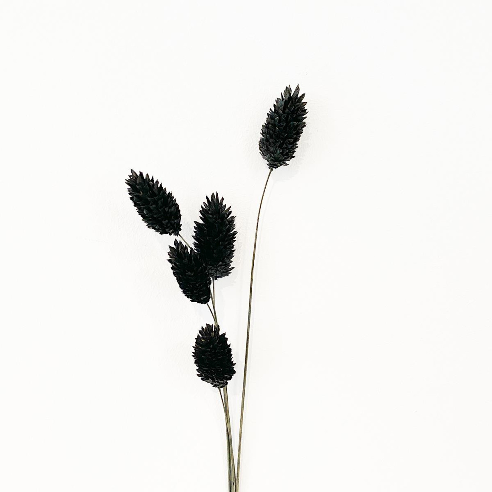 Phalaris schwarz