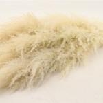 Pampas Cotton