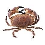 Noordzee krab (groot) heel levend, pantser en scharen, 400-700gr