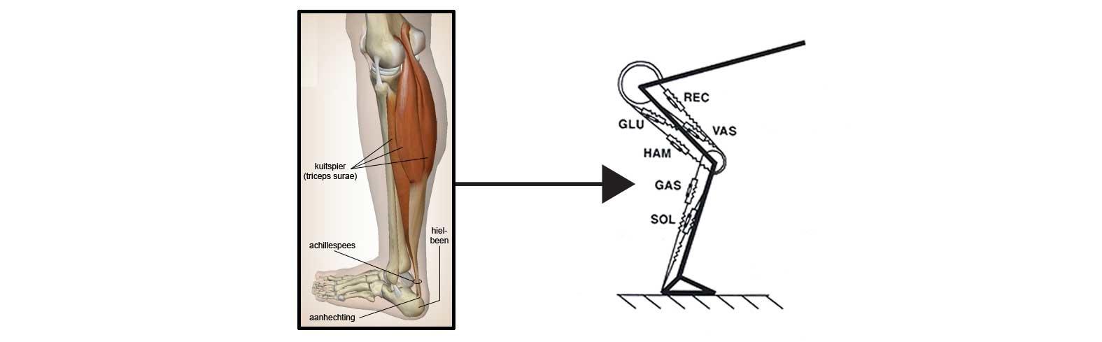spier-skelet model van een schaatser