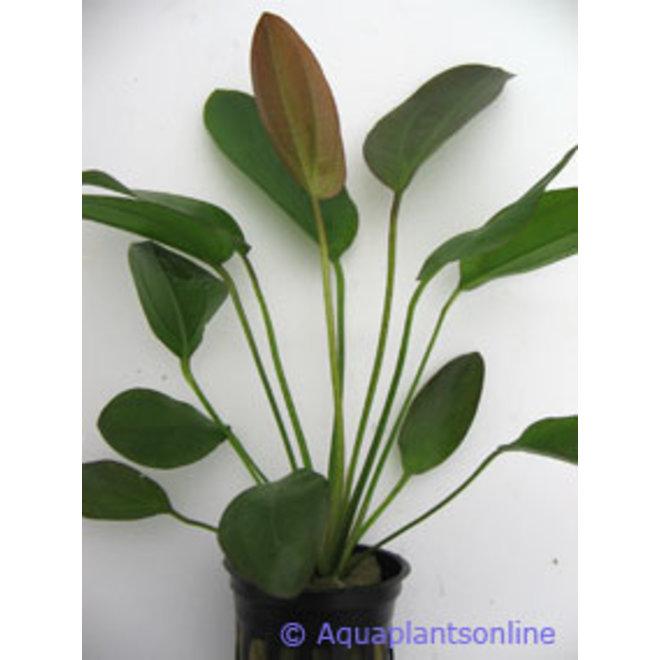 Echinodorus osirus rubra