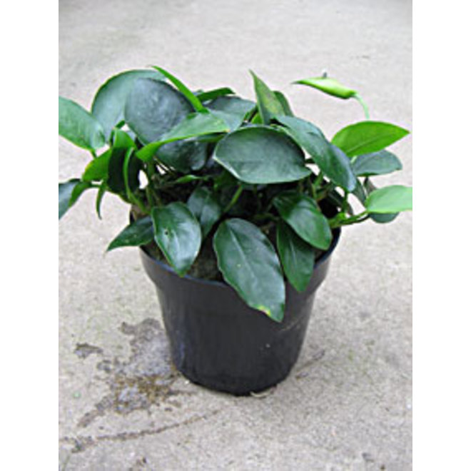 Anubias nana, moederplant