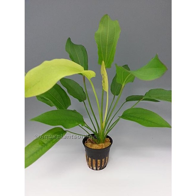 Echinodorus tricolor