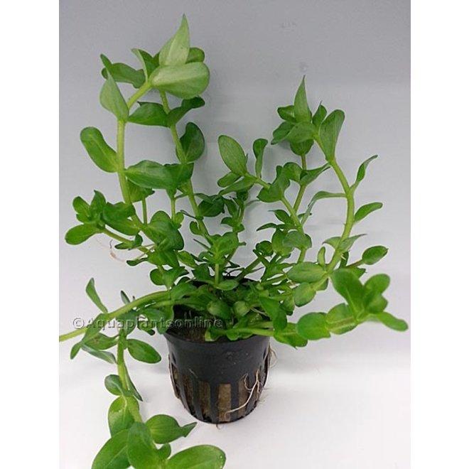 Bacopa amplexicaulis