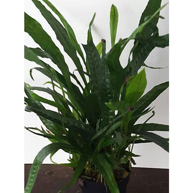 Microsorum pteropus, moederplant