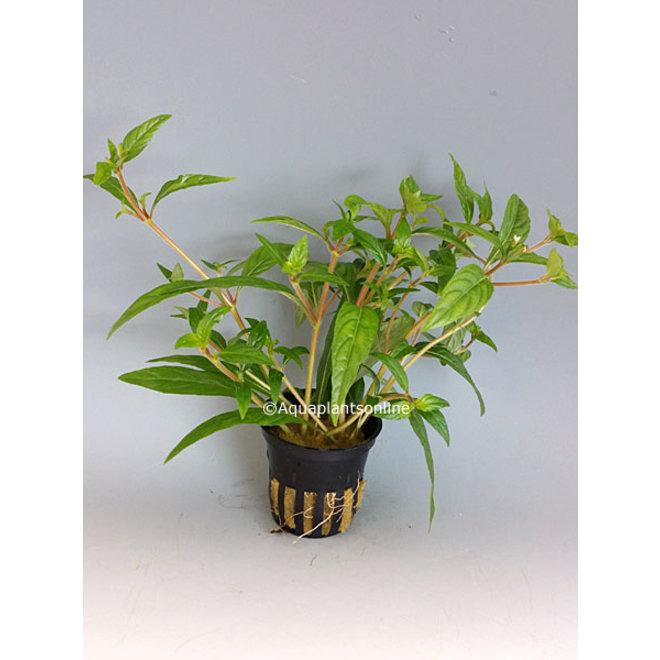 "Hygrophila sp. ""Pantanal Wavy"""