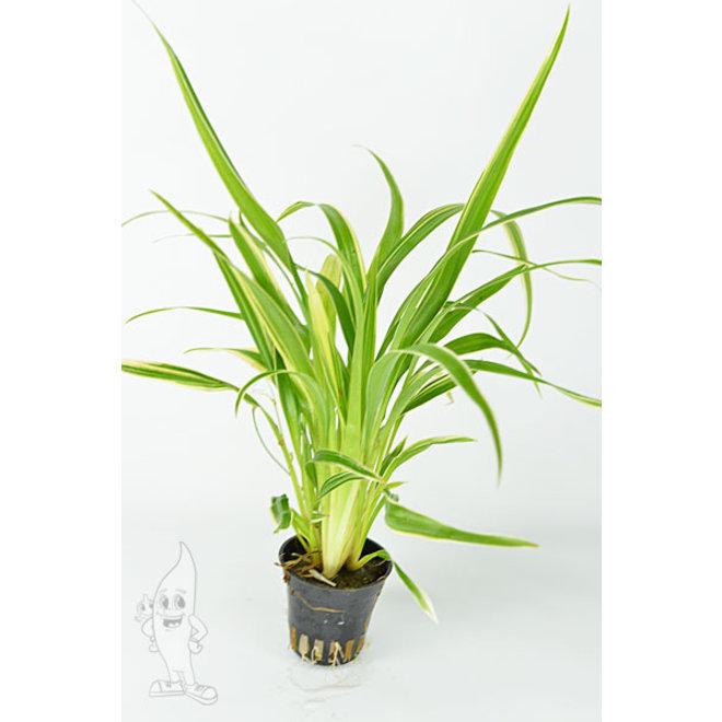 Chlorophytum Bichetii (Terrarium)