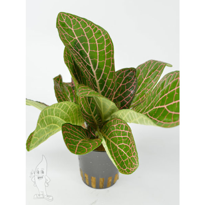 Fittonia Red